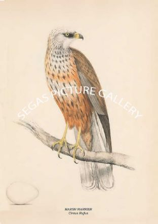 MARSH HARRIER - Circus Rufus
